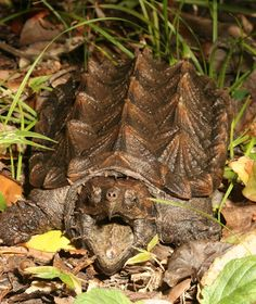 Alligator Snapping Turtle, the largest freshwater turtle in the world based on weight:  It is endangered in  Kentucky, Indiana, Illinois, and Missouri, where they are protected by state law.  Due to exotic pet trade, harvesting for meat, habitat destruction. by Dick Bartlett