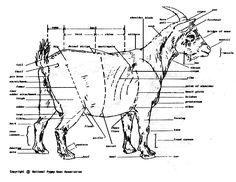 pygmy goat color chart   Pygmy Goats