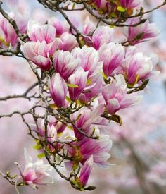 The magnolias are a very diverse group of plants and encompass many shapes, forms and colours. Description from squiresgardencentres.co.uk. I searched for this on bing.com/images