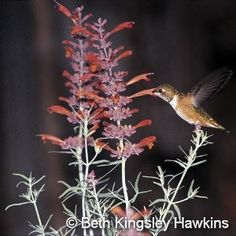 Love Hummingbirds....plant Licorice Mint Hyssop....