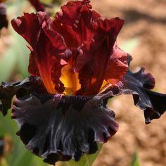 Iris 'Terra Del Fuoco'