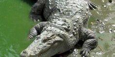 Continúa búsqueda de niño arrastrado por cocodrilo en Oaxaca