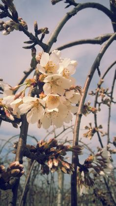 Prunus cerasus pendula