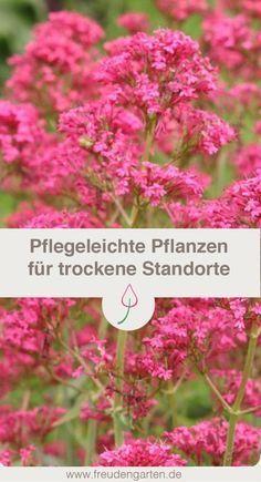 Blumen für trockene Standorte im Garten - so wird der Garten pflegeleichter! #Garten #garden #plants #Pflanzen