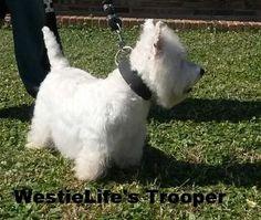 Westielife's Westies Chalmette, Louisiana- Cajun Trooper (Daddy)
