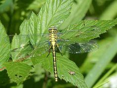 River clubtail dragonfly, Kärkna forest.