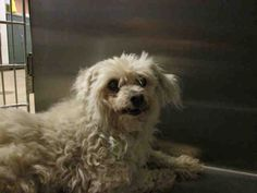 A1561589	My name is Fluffy and I am a spayed female, white Poodle - Miniature mix.  The shelter thinks I am about 13 years old.  I have been at the shelter since Jun 08, 2015.	Poodle - Miniature mix	13 yr	West Valley Animal Care and Control Center