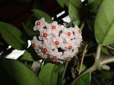 Tropical Garden, Flower Garden, Plants, Pink Flowers, New Vines, Flowers, Plant Identification, Garden Plants, Flowering Vines