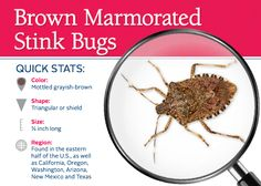 Information and prevention tips on stink bugs