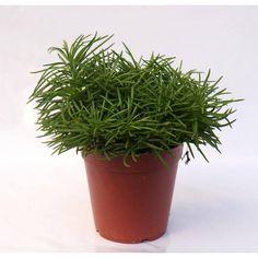 Vetplant Himalaya Senecio