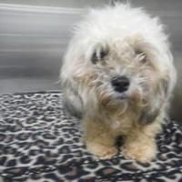 Pinned 1 25 19 Pet Card Shih Tzu Shih Tzu Puppy Pet Adoption