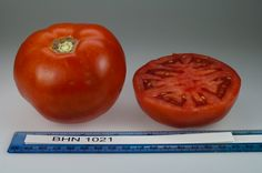BHN 1021 tomato, grown at Rutgers NJAES research farms.