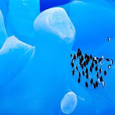 """Photo by @FransLanting """"Iceberg Cathedral"""" Every iceberg tells a story. Each one is a snapshot of water frozen in time. This gigantic one, afloat in Antarctica's Weddell Sea, looked like a turquoise cathedral with soaring archways and fluted columns sculpted by the corroding force of waves. When a group of chinstrap penguins came into view, they added reality to a surreal scene—their moment aboard the blue berg as fleeting as the life of the ice itself. Follow me @FransLanting for more…"""