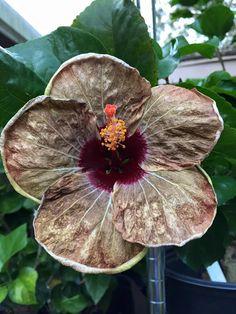 109 Best Hibiscus Black Images Hibiscus Beautiful Flowers
