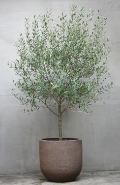 olive tree for front garden feature option Indoor Olive Tree, Potted Olive Tree, Indoor Trees, Indoor Plants, Potted Trees Patio, Big Plants, Outdoor Planters, Outdoor Gardens, Hanging Planters