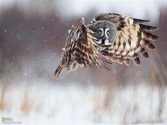 かつて凶兆の鳥とされていたカラフトフクロウ