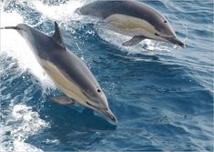 Common Dolphin Postcard This is a photograph of two common Dolphins jumping out of water. Wildlife Photography, Animal Photography, Photography Gifts, Dauphin Rose, Common Dolphin, Animal Action, Bottlenose Dolphin, Wale, Delphine