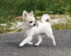 Chihuahua's...they walk with confidence and sass
