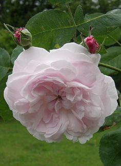 ~Rosa 'Fantin-Latour' ( U.K., before 1938)