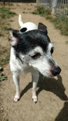 ADOPTED - Kennel # 21 - located at LORAIN COUNTY DOG KENNEL in Elyria, Ohio - Adult Female Toy Fox Terrier/Jack Russell Mix