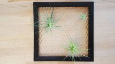 This 12x12 wooden frame has chicken wire attached to it so you can easily display your air plants in a funky way! Comes in natural wood and semi-gloss black, with metal picture frame hooks that can hang on any nail. You can choose up to three air plants in various sizes to come with your frame, or start with one and go start your own collection!  Base price of $20.00 comes with one medium sized air plant.  Medium=M Small=S   The three plant option comes with two medium plants and a small…