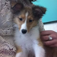 ..another thing I am DEF going to get. SHELTIE PUPPY! they're too cute :)