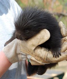 In Germany at Zoo Magdeburg, a beautiful North American porcupine is welcomed, and looks adorable.
