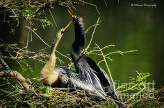 Anhingas become quite attractive with the turquoise eyering during mating season. I was fortunate to capture such an attractive couple.