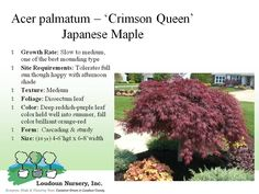 (Acer palmatum) 'Crimson Queen'' Japanese Maple