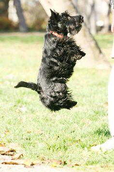 Scottish Terrier Puppy, Rainbow Bridge, Westies, Little Dogs, New Baby Products, Scottie Dogs, Puppies, Dog Stuff, Ufo