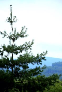 Pine Tree Photographic Print $10.00 Multiple Sizes Available