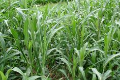Considerations for Using Cover Crops