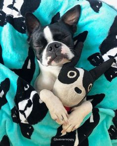 Some of the things I admire about the Playfull Boston Terrier Puppies Terrier Breeds, Terrier Puppies, Pitbull Terrier, Cute Puppies, Cute Dogs, Funny Dogs, Boston Terrier Love, Boston Terriers, Boston Terrier Temperament
