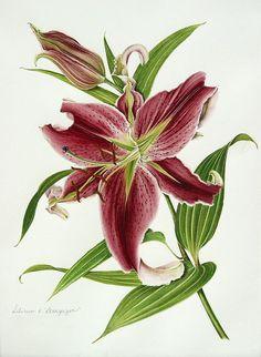 Botanical illustration of lilium aka stargazer by Milly Acharya