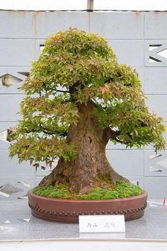 A trident maple bonsai tree with in INCREDIBLY thick trunk. I mean, look at that sucker! See more bonsai trees at http://www.nurserytreewholesalers.com/