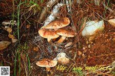 Seta de pino - Tricholoma batschii