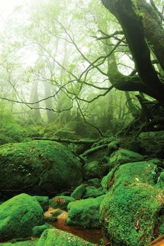 Located on Yakushima island belonging to Japan. It is one of the few ancient forests, the ecosystem still untouched by civilization intervention.
