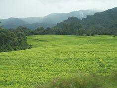 Tea Fields in Rwanda