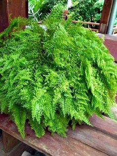 """Nephrolepis exaltata """"Smithii"""" -- Rare fishtail basket fern - SIAMGREENCULTUREHome of tropical ferns, mosses and tropical plants Indoor Ferns, Indoor Plants, Tropical Garden, Tropical Plants, Terrarium Plants, Fern Houseplant, Asparagus Plant, Ferns Garden, Boston Ferns"""