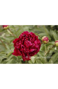 (Sass, This deep, rich, dark red peony blooms mid-season and is tall. Buy Peonies, Peony, Bloom, Seasons, Plants, Red, Peony Flower, Seasons Of The Year, Plant