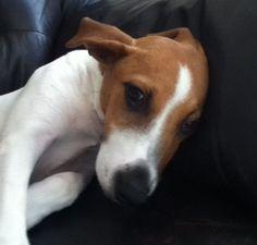Jake Fox terrier cross   Pawshake