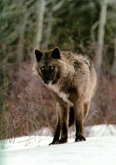 wolf black and gray tattoo Gray wolf (Canis lupus) from the Sawtooth pack by Jim and Jamie Dutcher* Wolf Photos, Wolf Pictures, Animal Pictures, Beautiful Creatures, Animals Beautiful, Cute Animals, Wild Animals, Baby Animals, Wolf Spirit