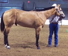 Our buckskin stallion.  Untouchable Class. Own son of Kids Classic Style.  $200 stud fee.  We have foals by him also