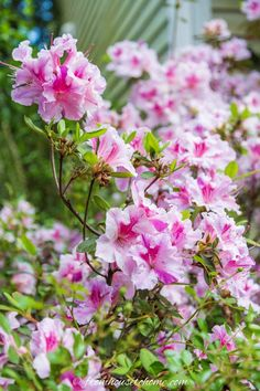 Find out which bushes to plant under trees in the shade garden in your backyard or front yard. These shrubs will help to brighten up your yard. #fromhousetohome #bushes #shade #gardeningtips #gardening #gardenideas Best Shrubs For Shade, Flowering Shrubs For Shade, Evergreens For Shade, Shade Loving Shrubs, Shade Shrubs, Shade Perennials, Evergreen Shrubs, Trees And Shrubs, Flowers Perennials