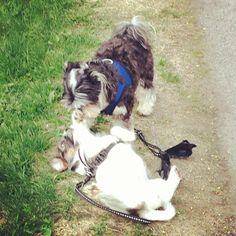 heididahlsveen:  Oliver 4 år gammel mix #malteser og #powderpuff og Atsjoo #hund #dog #puppy