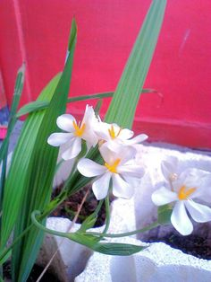 Eleutherine bulbosa in my little garden, bloom after heavy rain last week