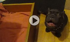 Frenchie argues bedtime with owner. This video WON the internet yesterday, have you seen it yet? Simply adorable!!! http://theilovedogssite.com/popular-frenchie-argues-with-owner-about-bedtime-adorable/