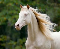 These 10 Rare And Beautiful Horses Are Like Cremello Tennessee Walking Horse All The Pretty Horses, Most Beautiful Horses, Tennessee Walking Horse, Rare Horses, Wild Horses, Beautiful Creatures, Animals Beautiful, Rare Horse Breeds, Majestic Horse