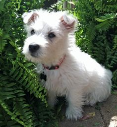 Archie the West Highland Terrier. Archie looks a lot like my Cairn Terrier, Duffy, when he was a puppy. Duffy, who's whole name is Constable Hamish Mac Duff, is five years old now.