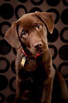 Labrador Retriever #labrador #dog #dogguide4u #labradorretriever